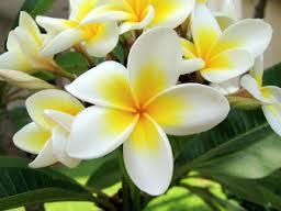 kandungan bunga kamboja, nama latin bunga kamboja