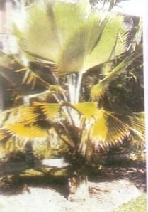 klasifikasi palem, jenis pohon palem, tanaman palem, palem kipas
