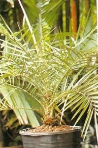klasifikasi palem, jenis pohon palem, tanaman palem