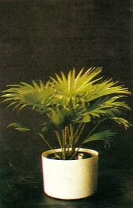 palem merah, klasifikasi palem, jenis pohon palem, tanaman palem, palem ganda asri 2